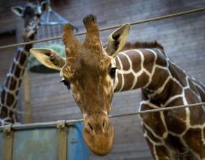 Marius la giraffa uccisa allo Zoo di Copenhagen